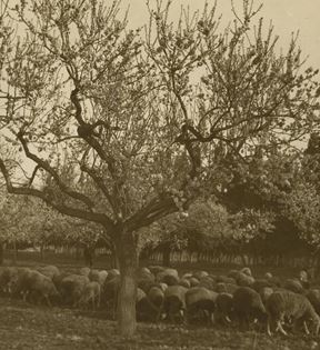Vintage Sheep Herding